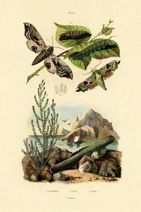Lime Hawkmoth, 1833-39