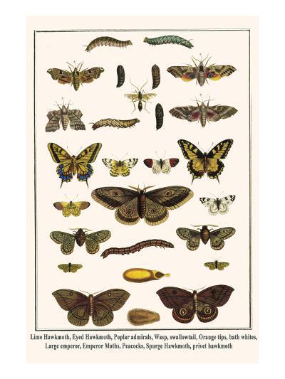Lime Hawkmoth, Eyed Hawkmoth, Poplar Admirals, Wasp, Swallowtail, Orange Tips, Bath Whites, etc.-Albertus Seba-Art Print