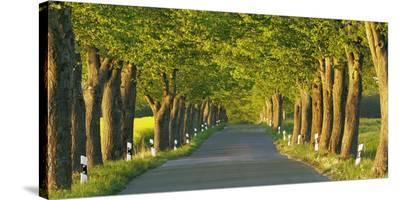 Lime tree alley, Mecklenburg Lake District, Germany-Frank Krahmer-Stretched Canvas Print