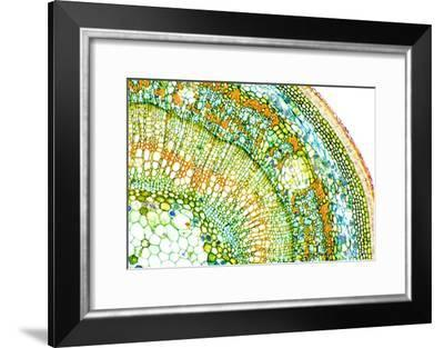 Lime Tree Stem, Light Micrograph-Dr. Keith Wheeler-Framed Photographic Print