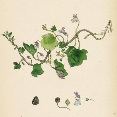 Linaria Cymbalaria Ivy-Leaved Toadflax--Giclee Print