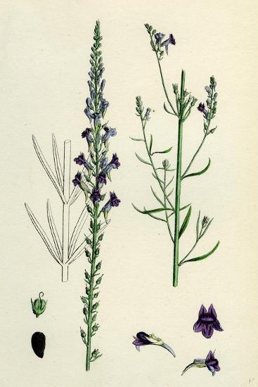 Linaria Purpurea; Purple Toadflax--Giclee Print