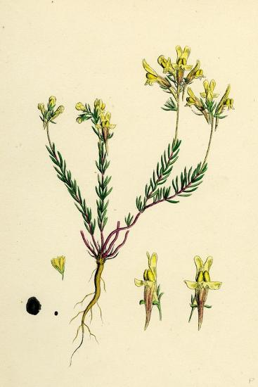 Linaria Supina; Decumbent Toadflax--Giclee Print