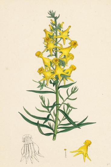 Linaria Vulgaris Peloria Yellow Toadflax Monstrous State--Giclee Print