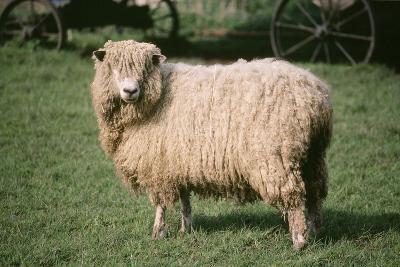 Lincoln Longwool Sheep--Photographic Print