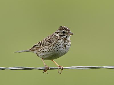 Lincoln's Sparrow (Melospiza Lincolnii), San Jacinto Wildlife Area, California, USA--Photographic Print