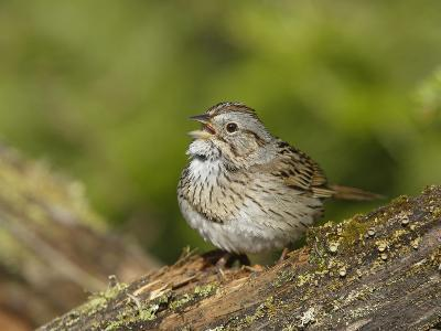 Lincoln's Sparrow Singing-Garth McElroy-Photographic Print