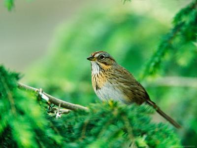 Lincoln's Sparrow-Adam Jones-Photographic Print