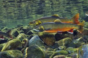 Arctic Charr (Salvelinus Alpinus) Males in a River Ready to Spawn, Ennerdale, Lake District Np, UK by Linda Pitkin