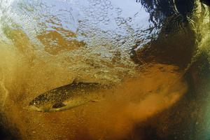 Brown Trout (Salmo Trutta) in Turbulent Water at a Weir, River Ettick, Selkirkshire, Scotland, UK by Linda Pitkin