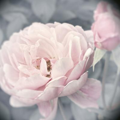 Belle Rose I