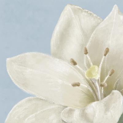 White Amarylis II