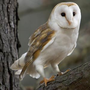 Barn Owl by Linda Wright