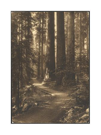 A Path Winds Through the Magnificent Sunlit Giant Forest by Lindley Eddy