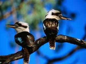 Blue-Winged Kookaburras, One with Gecko, in Gulf Savannah by Lindsay Brown