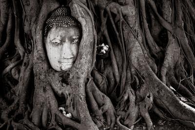 Buddha Head In Tree At Ayutthaya, Thailand