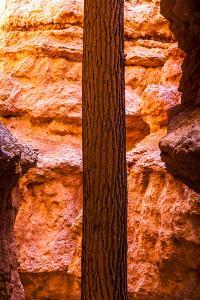Wall Street Tree Growing Between The Red Rock In Bryce Canyon, Utah by Lindsay Daniels