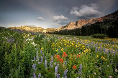 Wildflowers At Peak Season In Albion Basin