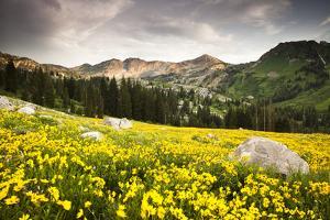 Wildflowers In Albion Basin Little Cottonwood Canyon, Utah by Lindsay Daniels