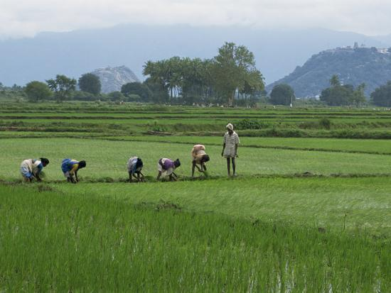 Line of People Planting Rice, Working the Rice Fields Near Madurai, Tamil Nadu, India-Robert Harding-Photographic Print