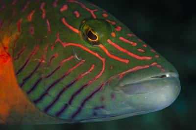 Lined Cheeked Wrasse (Oxycheilinus Digrammus), Rainbow Reef, Fiji-Pete Oxford-Photographic Print