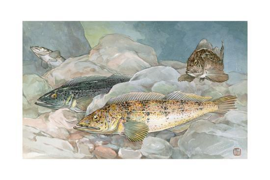 Ling Codfish Change Color to Fit its Surroundings-Hashime Murayama-Giclee Print