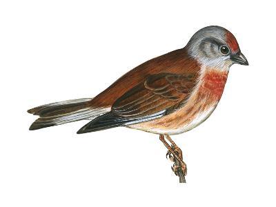 Linnet (Carduelis Cannabina), Birds-Encyclopaedia Britannica-Art Print