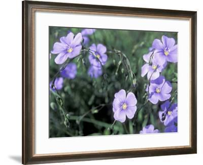 Linum Lewisii, Blue Flax Named for Discoverer Meriwether Lewis, Missouri River, Montana--Framed Photographic Print