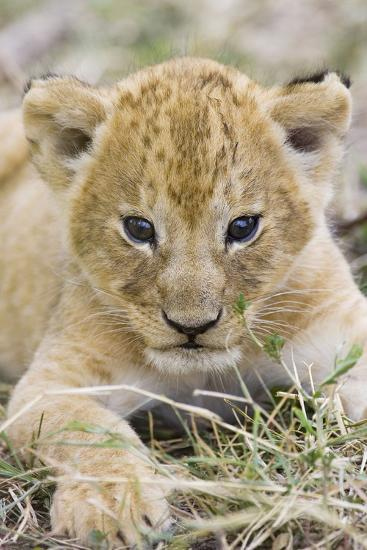 Lion 3-4 Week Old Cub--Photographic Print