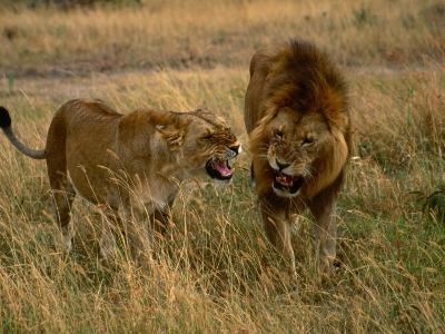 Lion and Lioness Growling at Each Other, Masai Mara National Reserve, Rift Valley, Kenya-Mitch Reardon-Photographic Print