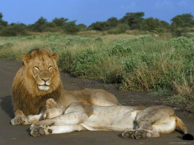 Lion and Lioness (Panthera Leo), Kruger National Park, South Africa, Africa-Steve & Ann Toon-Photographic Print