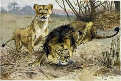 Lion and Lioness--Giclee Print