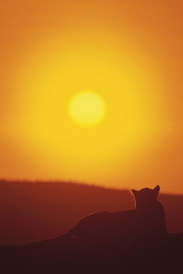 Lion at Sunset-DLILLC-Photographic Print