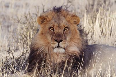 Lion Close-Up of Head, Facing Camera--Photographic Print