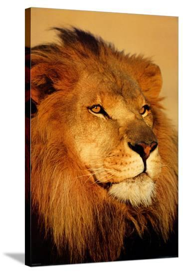 Lion Close Up--Stretched Canvas Print