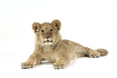 Lion Cub (Approx 16 Weeks Old) Lying--Photographic Print