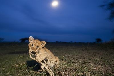 Lion Cub at Night--Photographic Print