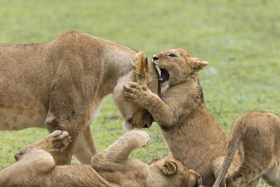 Lion Cub Attempts to Bite the Head of a Lioness, Ngorongoro, Tanzania-James Heupel-Photographic Print