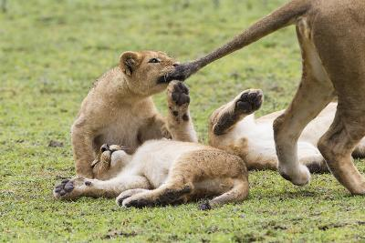 Lion Cub Bites the Tail of Lioness, Ngorongoro, Tanzania-James Heupel-Photographic Print