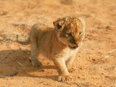 Lion Cub in Africa-John Dominis-Photographic Print