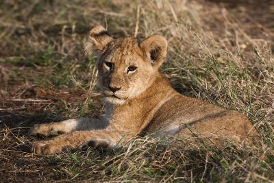 Lion Cub, Masai Mara, Kenya-Sergio Pitamitz-Photographic Print