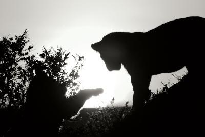 Lion Cub Morning BW-Susann Parker-Photographic Print