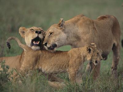 Lion Cub Nuzzling Adult Lions-DLILLC-Photographic Print