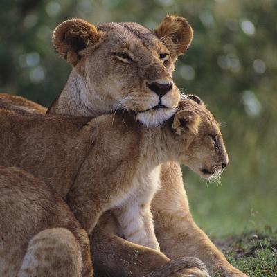Lion Cub Nuzzling Mother-DLILLC-Photographic Print