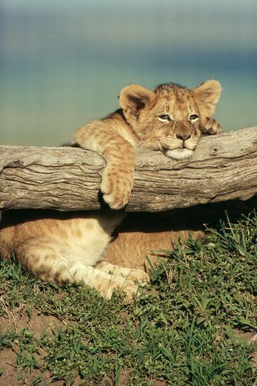 Lion Cub on Log--Photographic Print
