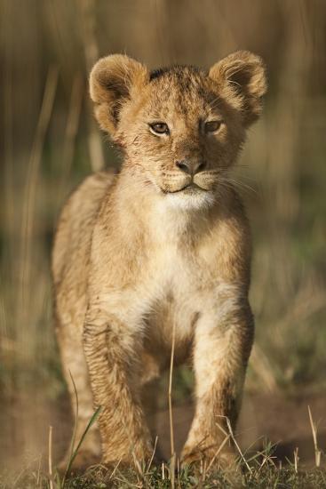 Lion Cub on Savanna in Masai Mara National Reserve-Paul Souders-Photographic Print