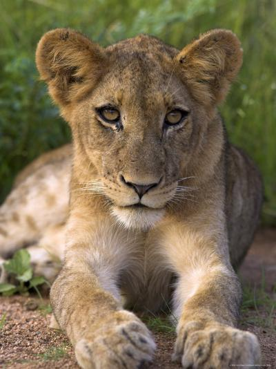 Lion Cub, Panthera Leo, in Kruger National Park Mpumalanga, South Africa-Ann & Steve Toon-Photographic Print
