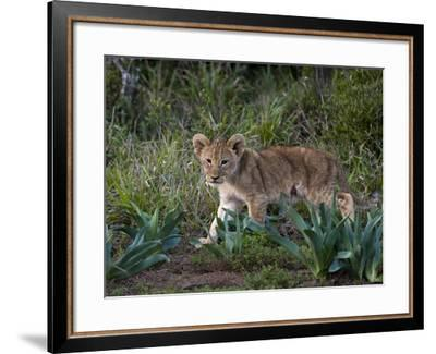 Lion Cub (Panthera Leo), Kariega Game Reserve, South Africa, Africa-Sergio Pitamitz-Framed Photographic Print