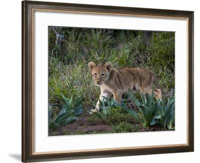 Lion Cub (Panthera Leo), Kariega Game Reserve, South Africa, Africa-Sergio Pitamitz-Framed Photographic Print