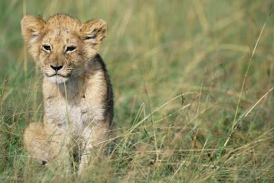 Lion Cub Sitting in Grass--Photographic Print